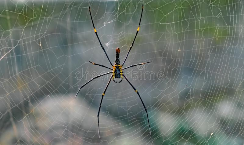 Giant golden orb-web spider/weaver. Scientific Name Nephila maculata or Nephila Pilipes resting in its perfectly crafted web. stock photo