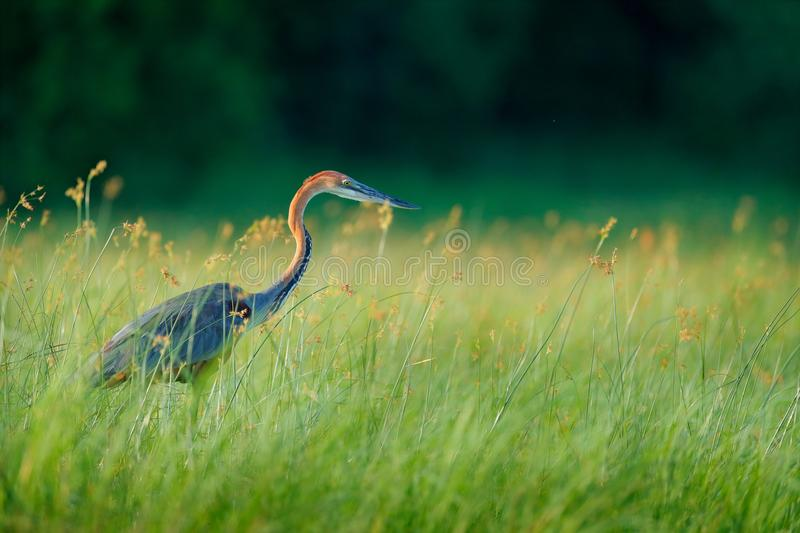 Giant goliath eron, Ardea goliath, the biggest heron walking in morning grass along the bank of the Okavango river against blurred royalty free stock image