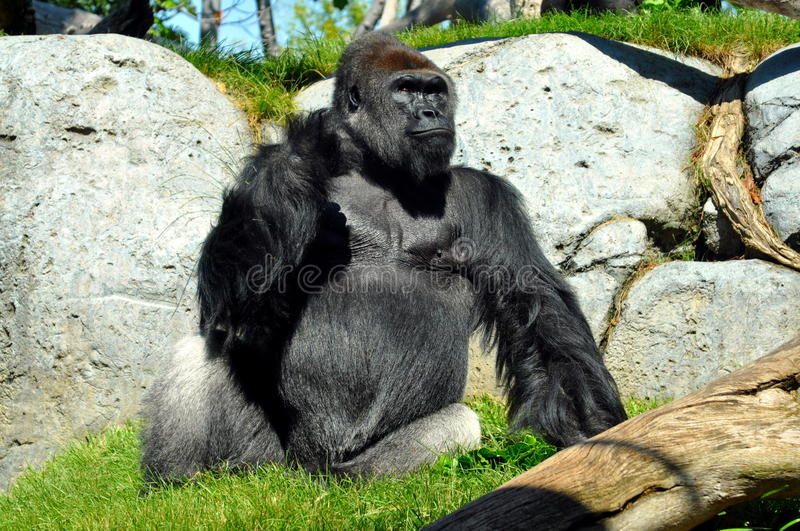 Giant gorilla having lunch at San Diego zoo royalty free stock photo