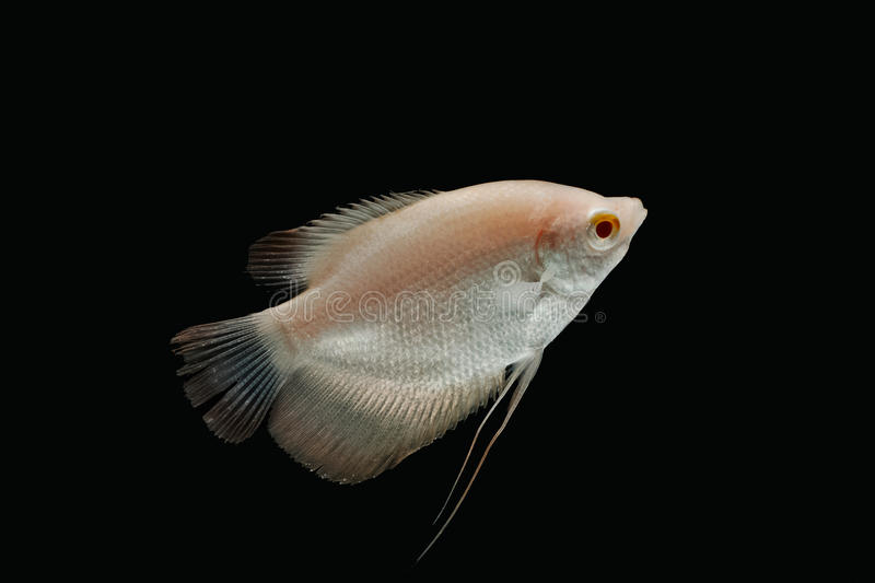 Giant gourami fish isolate stock images