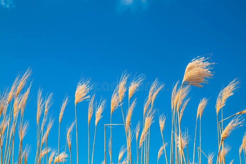 Giant Grass royalty free stock photos