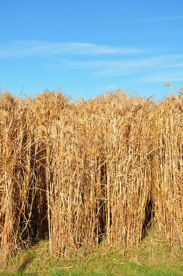 Giant grass (Miscanthus) royalty free stock photos