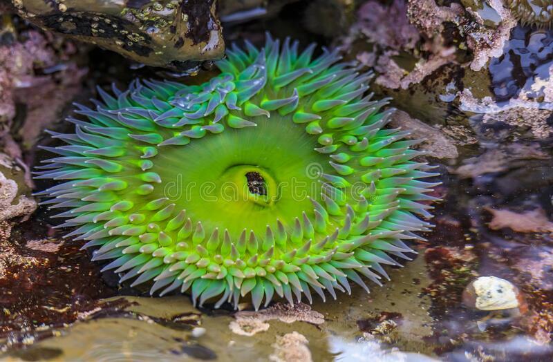 Giant green anemone in a tide pool at Fitzgerald Marine Reserve in Northern California, Bay Area south of San Francisco. Giant green anemone under water in a royalty free stock photos