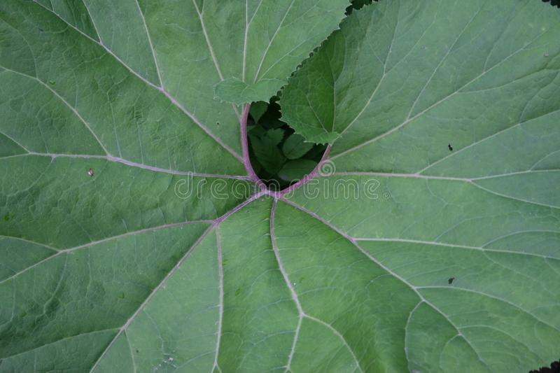 Giant green leave with nerves. A very big leave of a plant, with detailled nerves stock photo