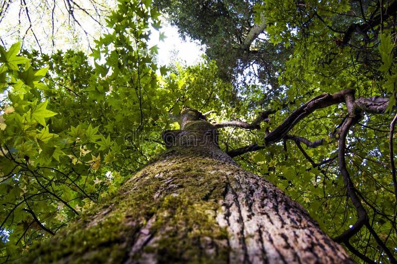 Giant green maple royalty free stock photo