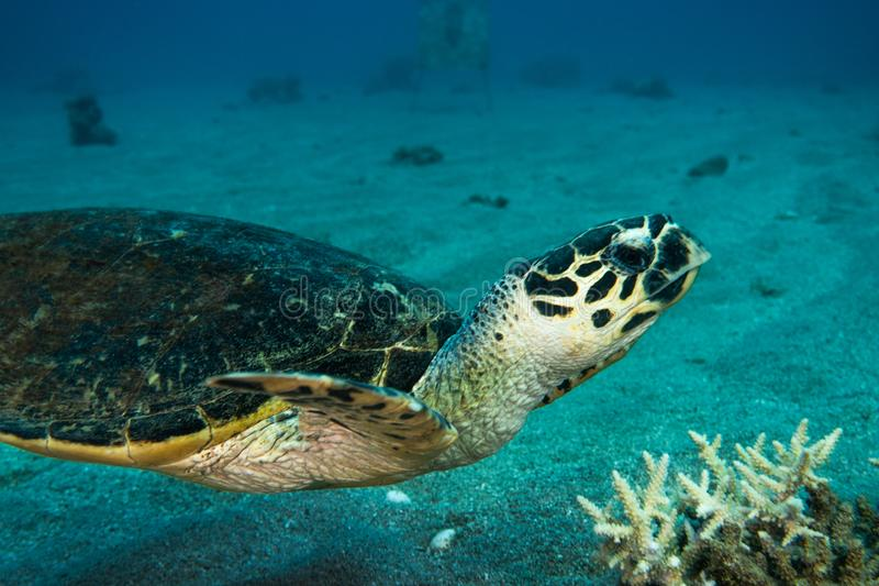 Giant Green Sea Turtles in the Red Sea a.e stock photo