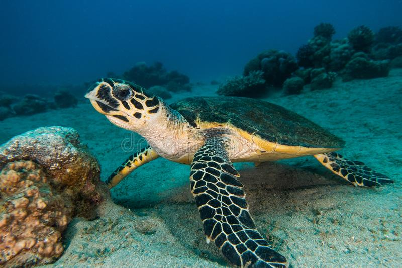 Giant Green Sea Turtles in the Red Sea a.e stock photos