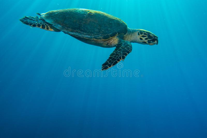 Giant Green Sea Turtles in the Red Sea, eilat israel a.e stock photography