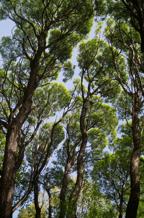 Giant green trees against blue sky royalty free stock photo