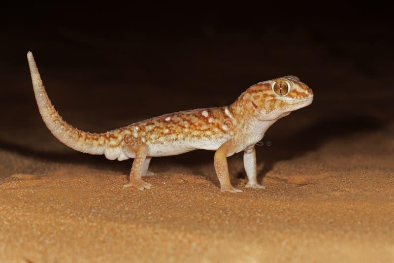 Giant Ground Gecko Stock Photo