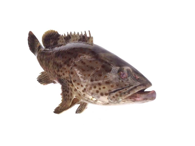 Giant grouper fish. Malabar rock cod/Estuary grouper/orange spotted grouper isolated on white background ,saltwater fish in game stock image