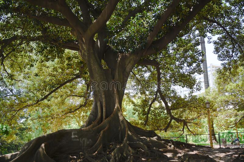 Giant gum tree, ficus elastica, with many roots on the surface on park in Buenos Aires, Argentina. Old rubber fig with lots of roots above ground in park of royalty free stock images