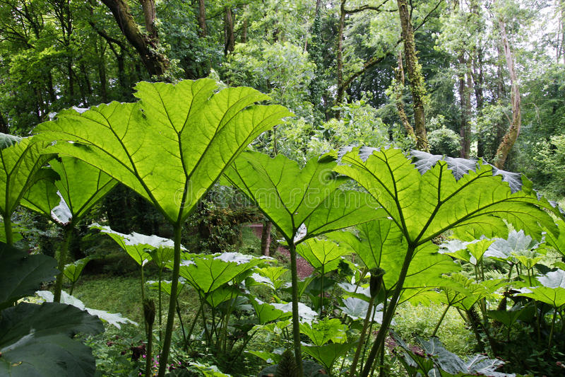 Giant Gunnera plants stock image Image of leaves garden 73224001
