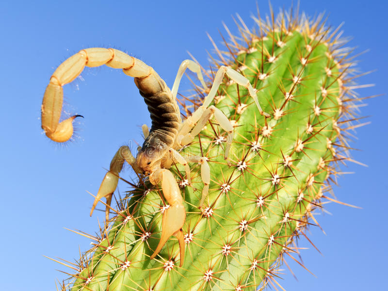 Giant Hairy Scorpion climbing on a Cactus royalty free stock photo