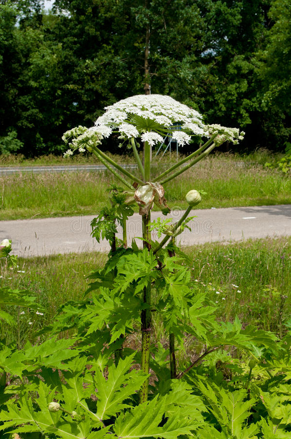 Giant hogweed. Blooming giant hogweed plant next to a road stock image