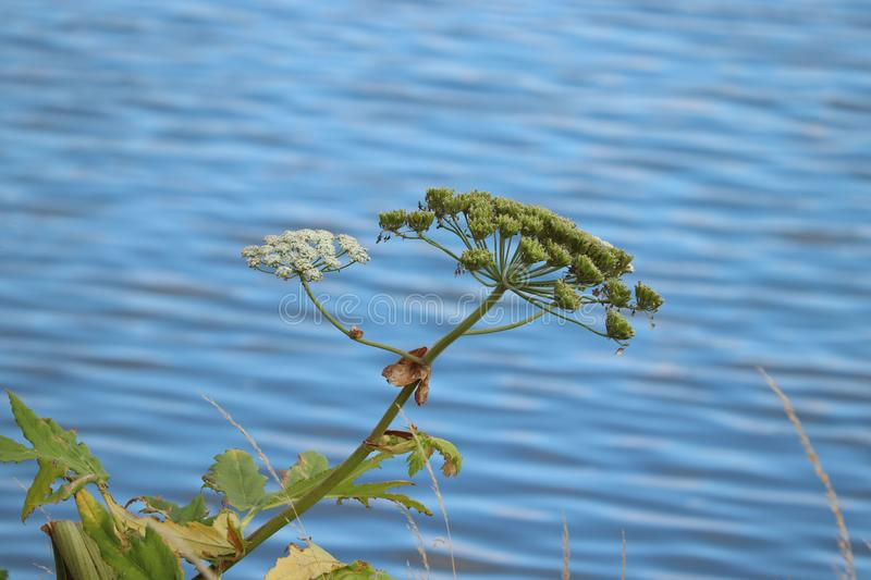 A giant hogweed. In a clear blue sky royalty free stock images