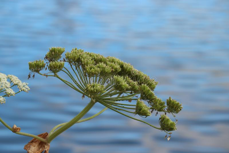 A giant hogweed. In a clear blue sky stock image