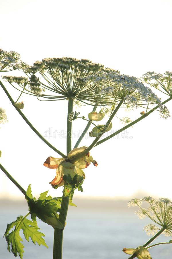 A giant hogweed. In a clear blue sky stock photo