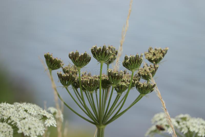 A giant hogweed. In a clear blue sky stock images