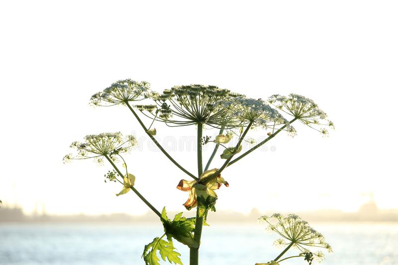 A giant hogweed. In a clear blue sky stock photography