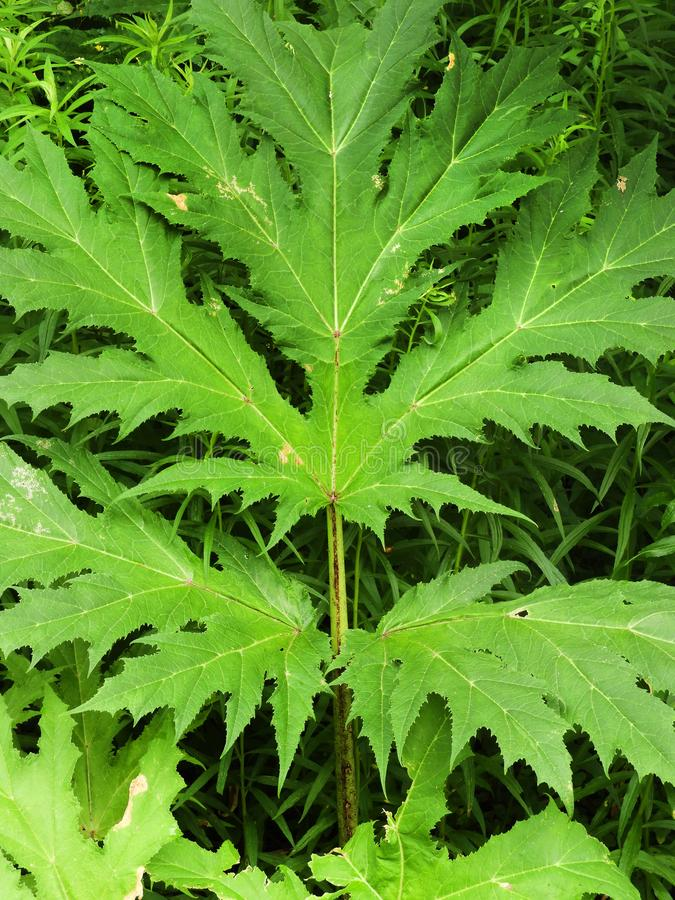 Giant Hogweed dangerous stalk and leaf ID. Giant hogweed Heracleum mantegazzianum is a Federally listed noxious weed. Its sap, in combination with moisture and royalty free stock images