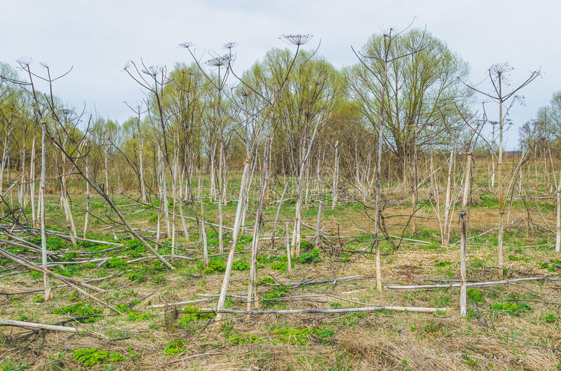 Giant Hogweed Heracleum dry old field plants and new shoots in the spring below. royalty free stock photo