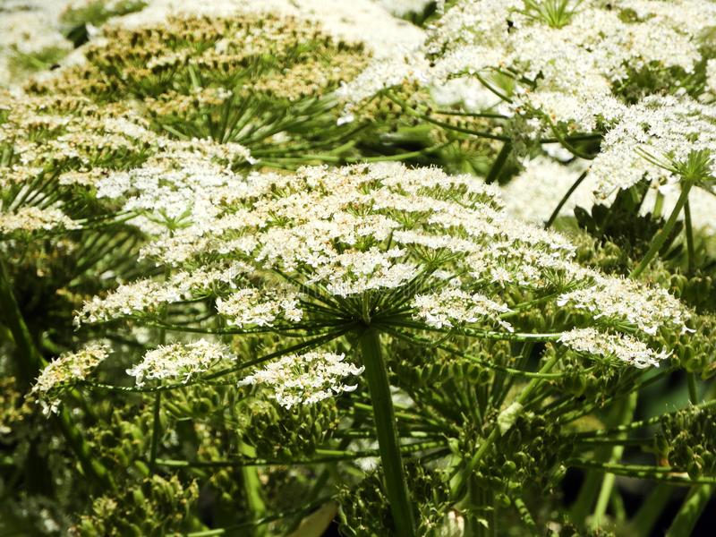 Giant Hogweed flower heads are beautiful but deadly. Giant hogweed Heracleum mantegazzianum is a Federally listed noxious weed. Its sap, in combination with royalty free stock images