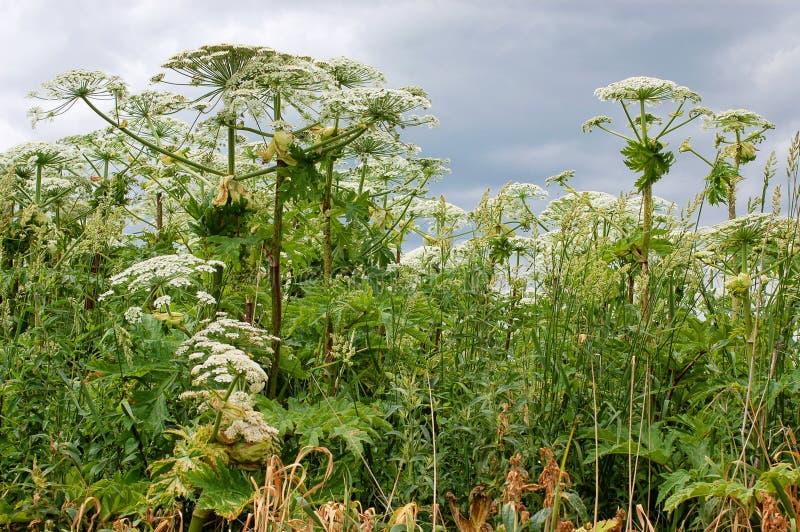 Giant hogweed stock photos