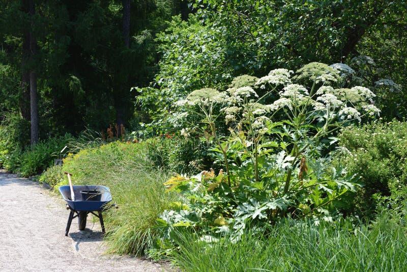 Giant hogweed Heracleum mantegazzianum royalty free stock image