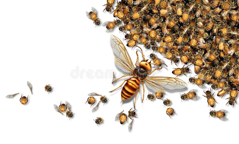 Giant Hornet Predator Attacking Bees. As a Murder hornet or Asian giant insect that kills honeybees as an animal concept for an invasive speciesin a 3D royalty free illustration
