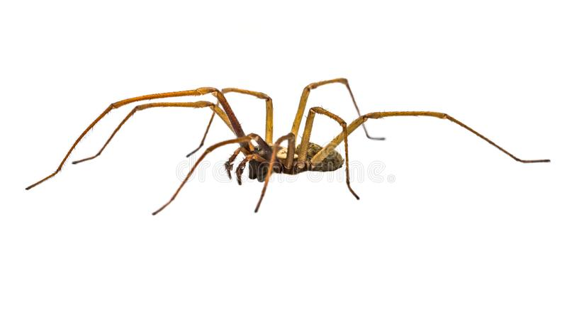 Giant house spider sideview isolated on white background. Giant house spider (Eratigena atrica) side view of arachnid with long hairy legs isolated on white royalty free stock photo