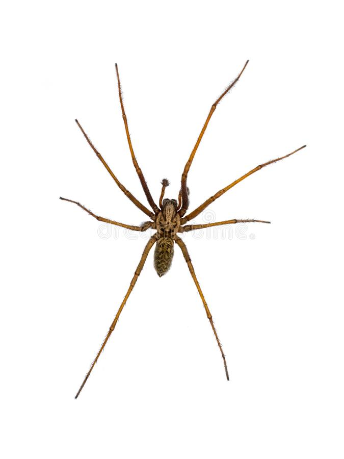 Giant house spider isolated on white background. Giant house spider (Eratigena atrica) top down view of arachnid with long hairy legs isolated on white royalty free stock photo
