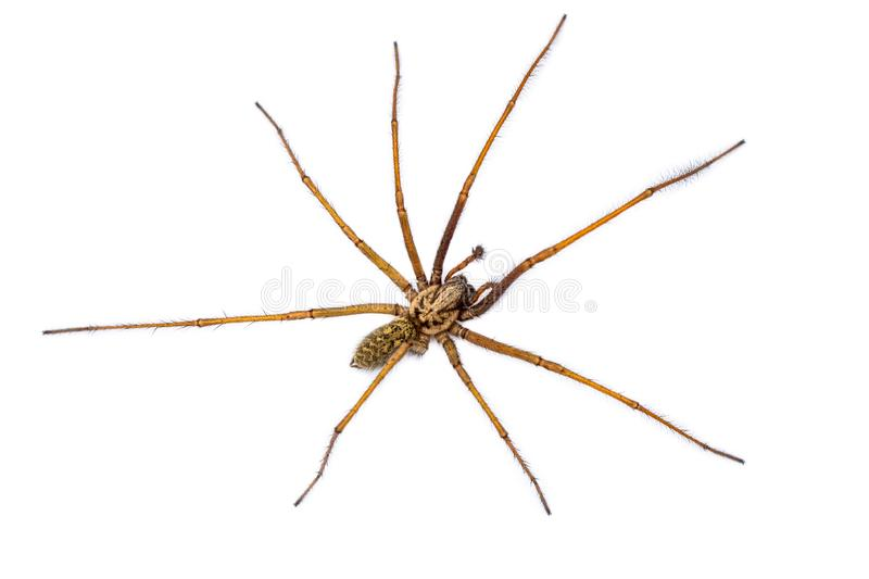 Giant house spider isolated on white background. Giant house spider (Eratigena atrica) top down view of arachnid with long hairy legs isolated on white stock photography