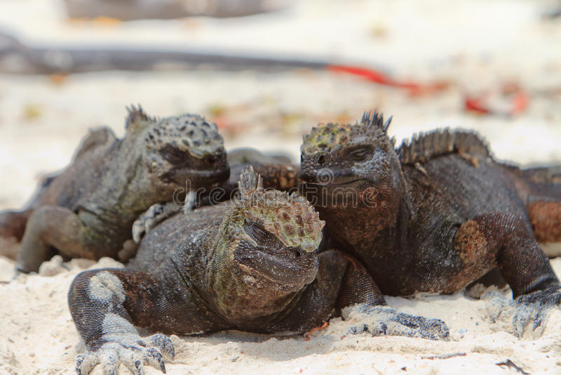 Download Giant Iguanas With Natural Background Stock Photo - Image: 26862020