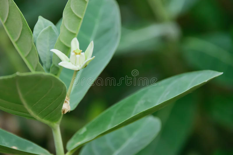 Giant Indian Milkweed stock images