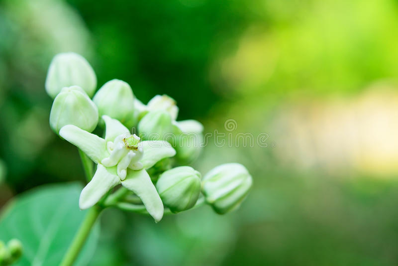 Giant Indian Milkweed stock photo