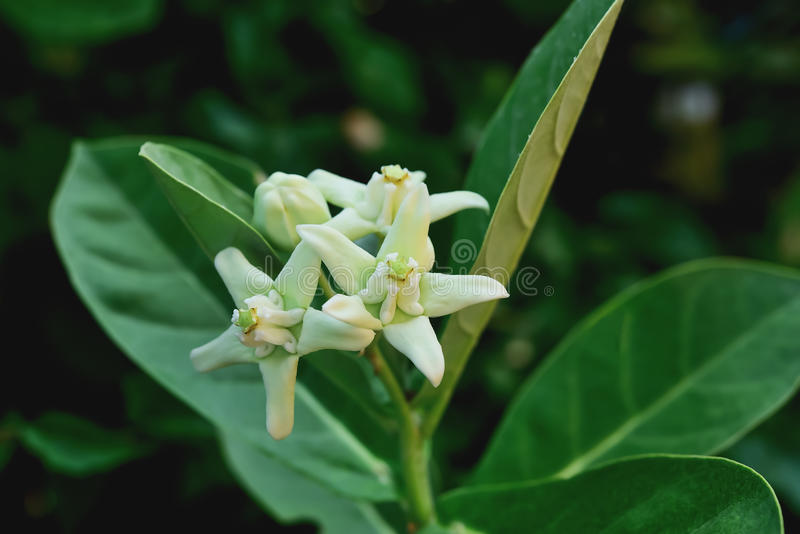 Giant Indian Milkweed stock photography