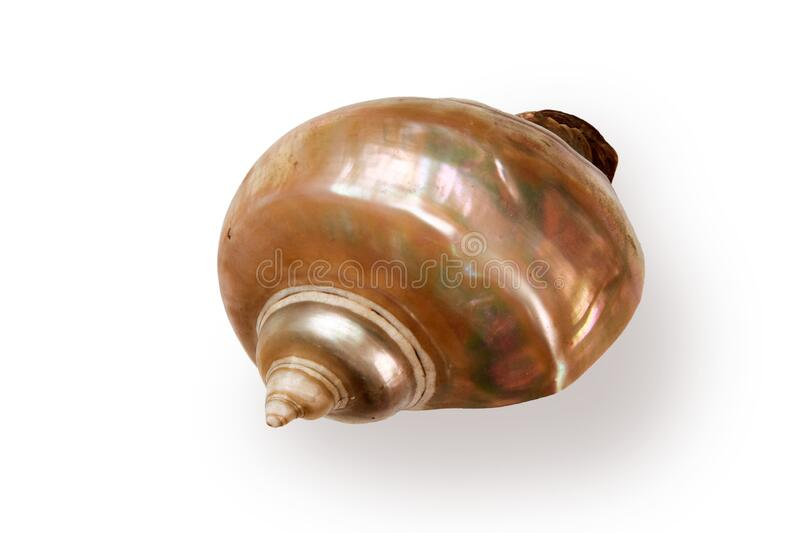 Giant iridescent pearl shell of a sea gastropod. Isolated on white background royalty free stock image