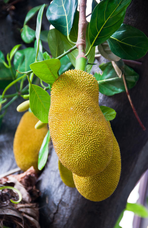 Giant jackfruit. On tree in the garden at Thailand stock image