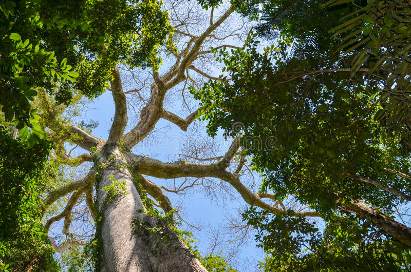 Giant Kapok tree in the Amazon rainforest, Tambopata National Reserve, Peru. Picture taken from the bottom up on the powerful trunk and the branches of the tree royalty free stock images