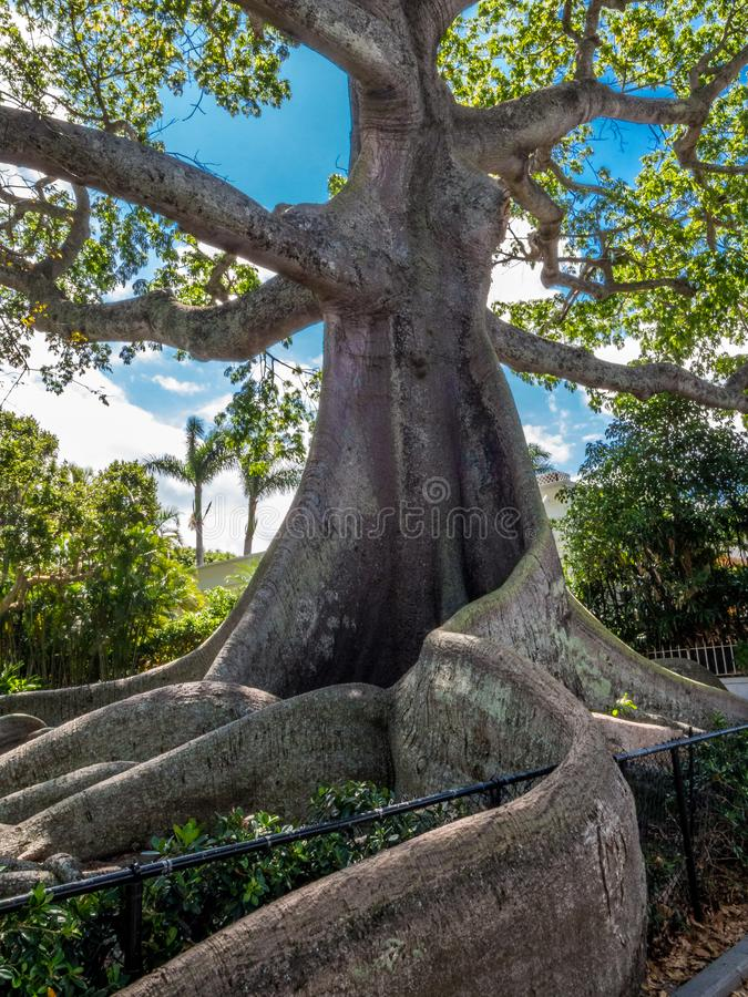 Giant Kapok Tree. At Plam Beach Florida stock photos