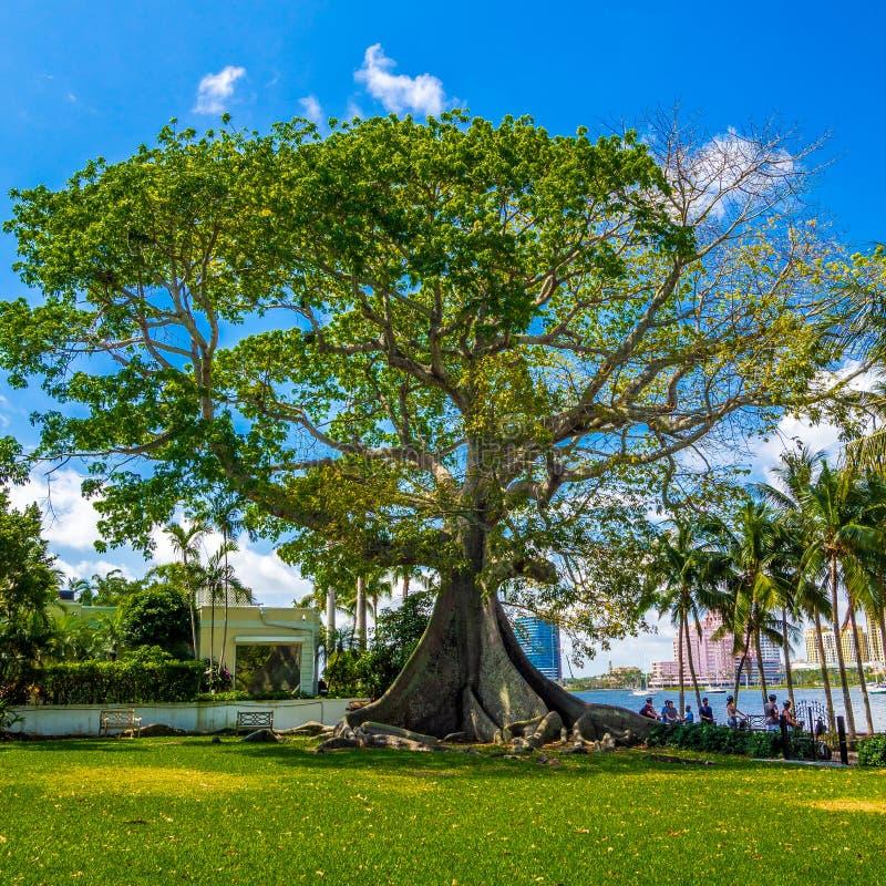 Giant Kapok Tree. At Plam Beach Florida stock images