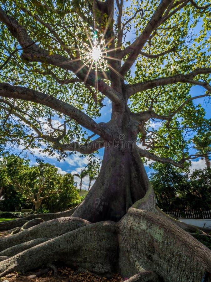 Giant Kapok Tree. At Plam Beach Florida stock photography