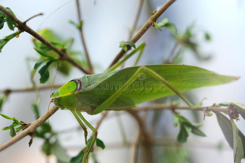 Giant Katydid stock photos