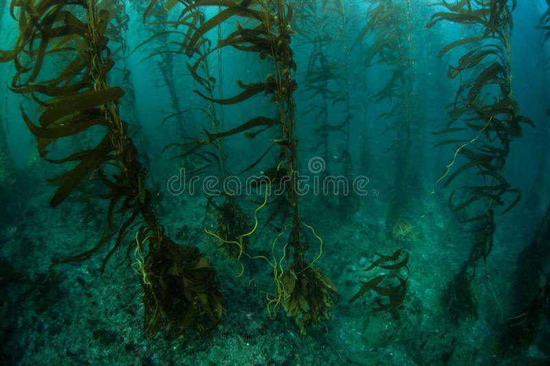 Giant Kelp Forest in California stock photography