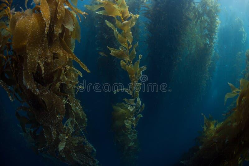 Giant Kelp Growing royalty free stock photos