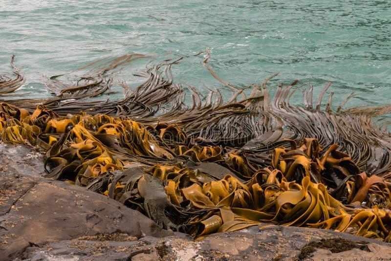 Giant kelp growing stock photography