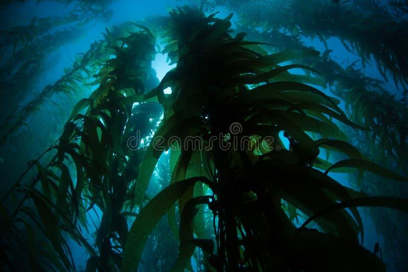 Giant Kelp Growing Underwater in California royalty free stock photos