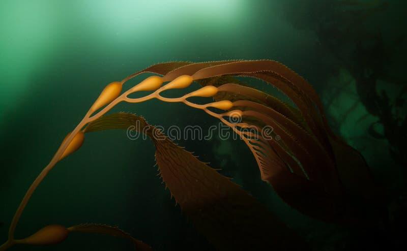 Giant Kelp 1 royalty free stock photo