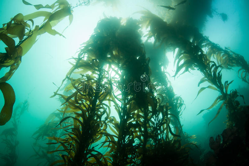 Giant Kelp Silhouette royalty free stock images